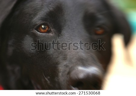 A soft focus look into the eye of a black lab as he awaits his meal.