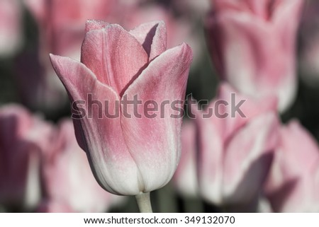 A soft pink tulip with morning dew and romantic lighting. - stock photo
