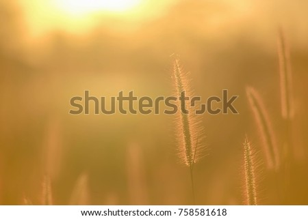 A soft selective focus picture of grass flowers in the evening sunray