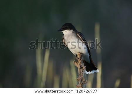 A solitary swallow takes a rare break from flying and perches on the top of a cattail