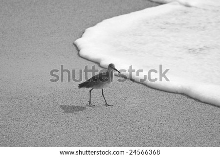 a solitary Willet walking on the beach