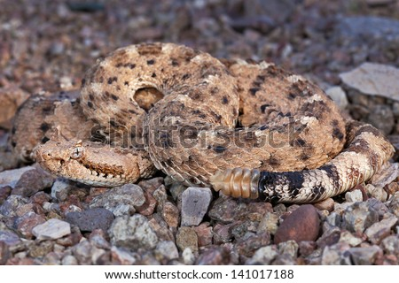 A Sonoran Desert Sidewinder Rattlesnake (Crotalus cerastes cercobombus) rattling and winding in sand in Arizona, USA. - stock photo