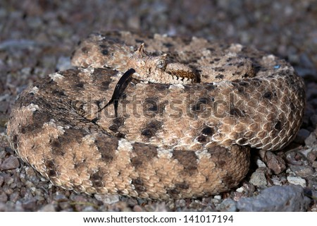 A Sonoran Desert Sidewinder Rattlesnake (Crotalus cerastes cercobombus) rattling and winding in sand in Arizona, USA. Snake also flicks its tongue to sense its environment. - stock photo