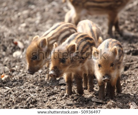 a sounder of young boars in spring forest - stock photo
