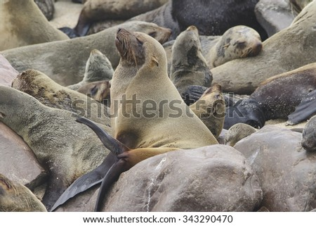 A south African fur seal basks on the rocks in a seal colony on the coast of Namibia - stock photo