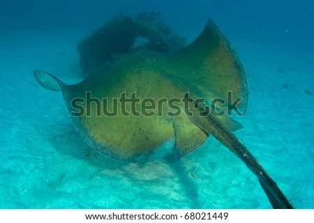 A Southern Atlantic Stingray swimming in the sand near an artificial reef. - stock photo