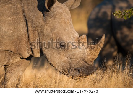 A Southern white rhinoceros (Ceratotherium simum simum) grazing - stock photo