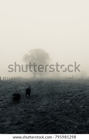 A Spaniel and a Labrador enjoy the misty countryside of South Derbyshire.