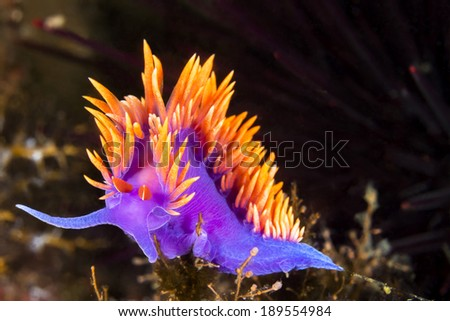 A Spanish shawl nudibranch snail, commonly found in the Channel Islands of California, crawls on branching cnidarians in search of food. - stock photo
