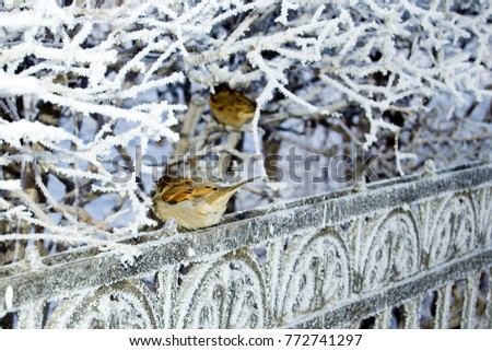 A sparrow on a cast-iron fence covered with hoarfrost. Branches covered with hoarfrost.