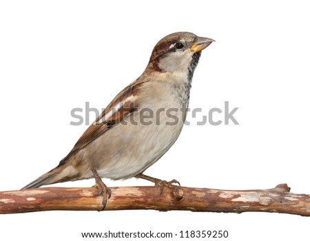 A sparrow stretches upward toward the sky while seated on a branch, white background - stock photo