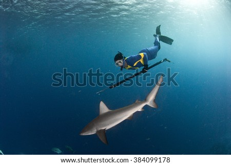 A spear fisher free diving with a friendly galapagos shark - stock photo
