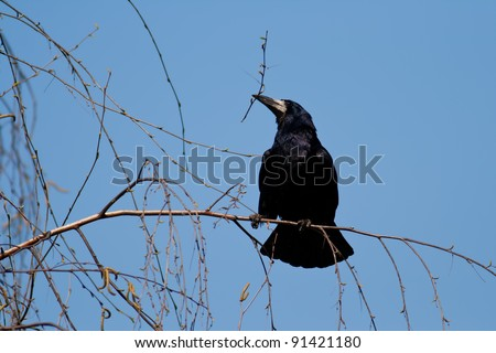 A specimens of Corvus frugilegus, Rook, photographed in nature gathering branches for the nest - stock photo