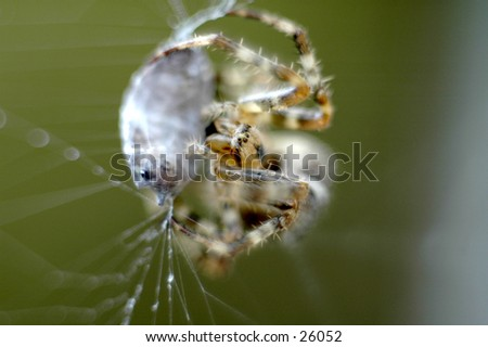 A spider and its prey - stock photo