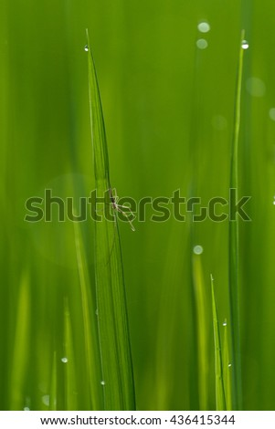 A Spider Climb on rice plant with selective focus  - stock photo