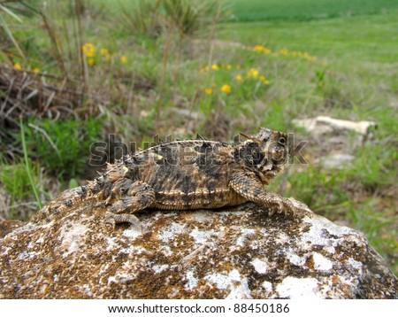 A spiky lizard, the Texas Horned Lizard, Phyrnosoma cornutum, on a rock overlooking prairie and cactus habitat - stock photo