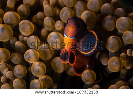 A Spinecheek anemonefish (Premnas biaculeatus) swims among the bulbous tentacles of its host anemone on a tropical coral reef in Indonesia. - stock photo