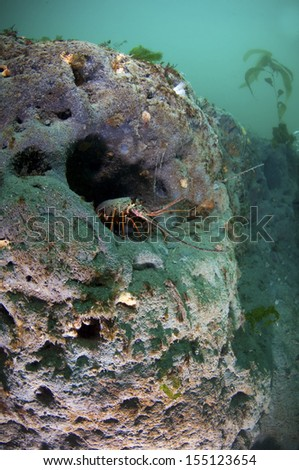 A spiny lobster sitting at the entrance to his den. - stock photo