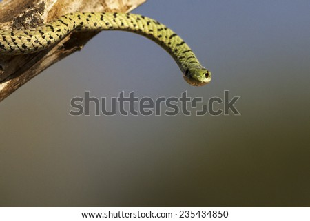 A spotted bush snake making eye contact - stock photo