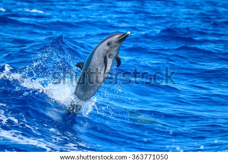 A spotted dolphin leaping out of the clear blue Hawaii waters.