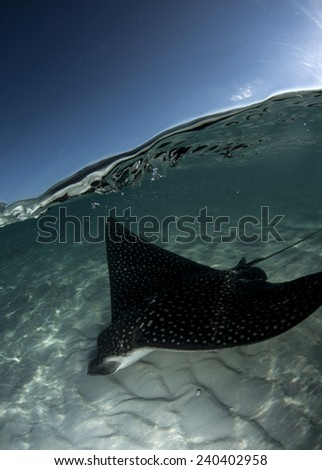 A spotted eagle ray glides over shallow sand just beneath the surface. - stock photo