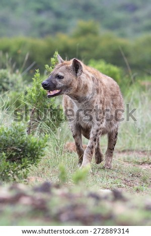 A spotted hyena portrait from safai in South Africa - stock photo