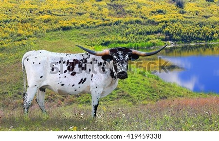 A spotted Texas Longhorn cow in a beautiful fall pasture. - stock photo