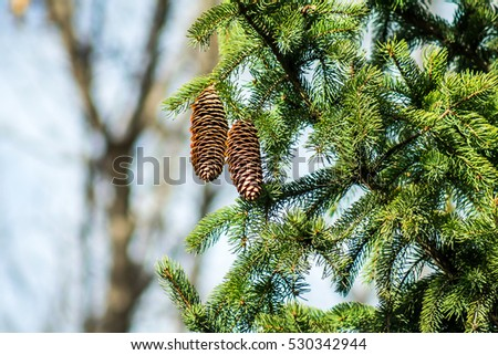 a sprig of fir with cones closeup