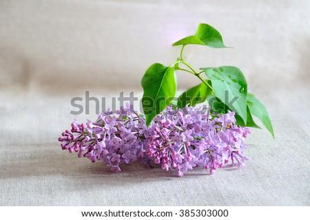 a sprig of lilac, lilac, greeting, green, floral, petal, aroma, celebration, perfume, details, gift, season, arrangement, flora, purple, biology, primrose, garden, design, elegance, bunch,  branch - stock photo