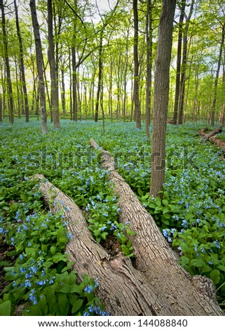 A spring carpet of virginia bluebells in the East Woods of The Morton Arboretum, Lisle, Illinois.