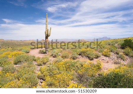 A spring day in the desert of Arizona with a large saguaro and lots of yellow, blooming flowers. - stock photo