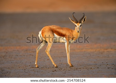A springbok antelope (Antidorcas marsupialis) in late afternoon light, Kalahari desert, South Africa - stock photo
