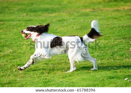 A springer dog running on the lawn - stock photo