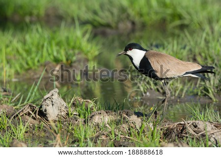 A Spur-Winged Lapwing (Vanellus Spinosus) on a grassy bank in a marsh - stock photo