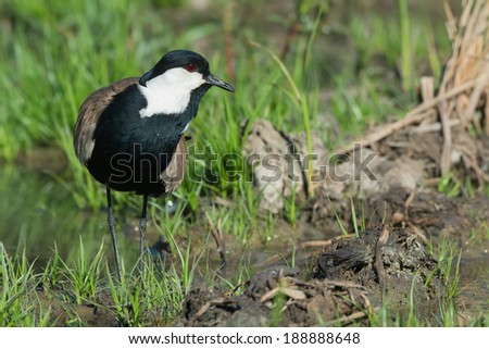 A Spur-Winged Lapwing (Vanellus Spinosus) on a grassy island in a marsh - stock photo