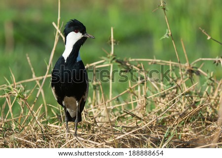 A Spur-Winged Lapwing (Vanellus Spinosus) on alert on a grassy bank - stock photo