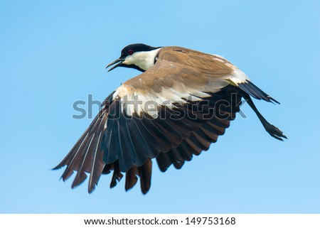 A Spur-winged plover caught in flight on down-stroke - stock photo