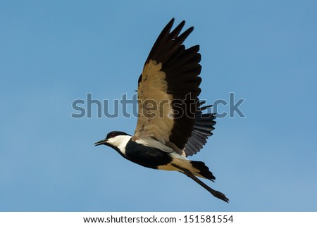 A Spur-Winged Plover in mid flight - stock photo