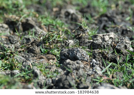 A Spur-Winged Plover (Vanellus Spinosus) chick hiding. - stock photo