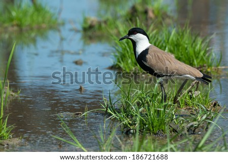A Spur-Winged Plover (Vanellus Spinosus) on a grassy island in a marsh - stock photo