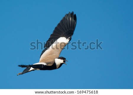 A Spur-Winged Plover (Vanellus Spinosus) screeching in flight - stock photo