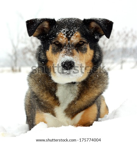 a square portrait of a cute German Shepherd Mix Breed dog looking at the camera with snow on his nose and laying snowy white background. - stock photo