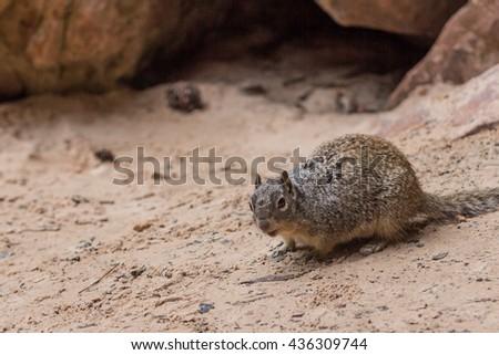 A squirrel found in Upper Emerald Pool Trail, near Zion Lodge, Zion National Park - stock photo