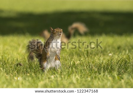 A squirrel looking at you in the green grass background - stock photo