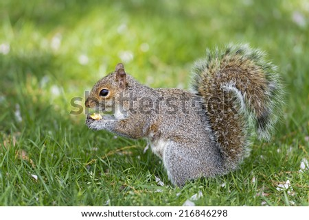 A squirrel looking at you while holding a nut in the green grass background - stock photo