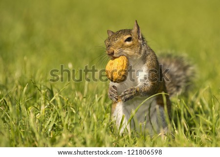 A squirrel looking at you while holding a nut with the mouth in the green grass background - stock photo
