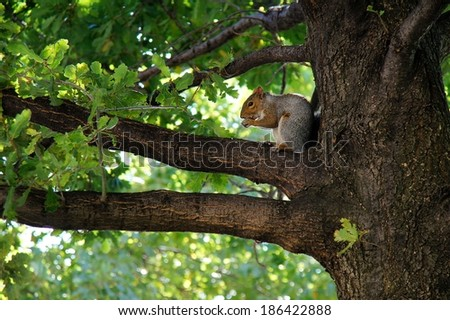 A squirrel sitting on the branch of an oak and eating an acorn. - stock photo