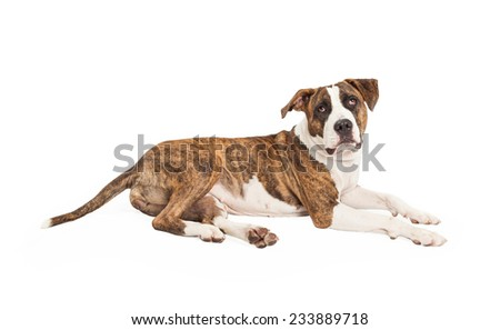 A Staffordshire Bull Terrier Mix Breed Dog laying with side of body to the camera.  Dog is looking at the camera.  - stock photo