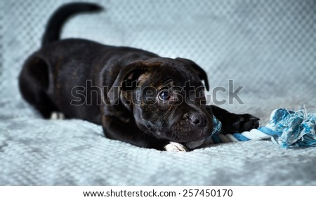 A Staffordshire Bull Terrier Puppy - stock photo