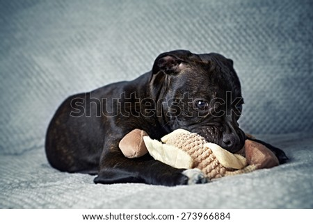 A Staffordshire Bull Terrier Puppy with a Toy  - stock photo